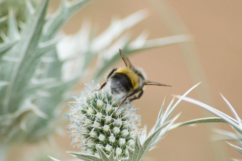 EyeEm Selects Flower Insect Macro Close-up Thistle Pollination Bumblebee Bee Buzzing Pollen