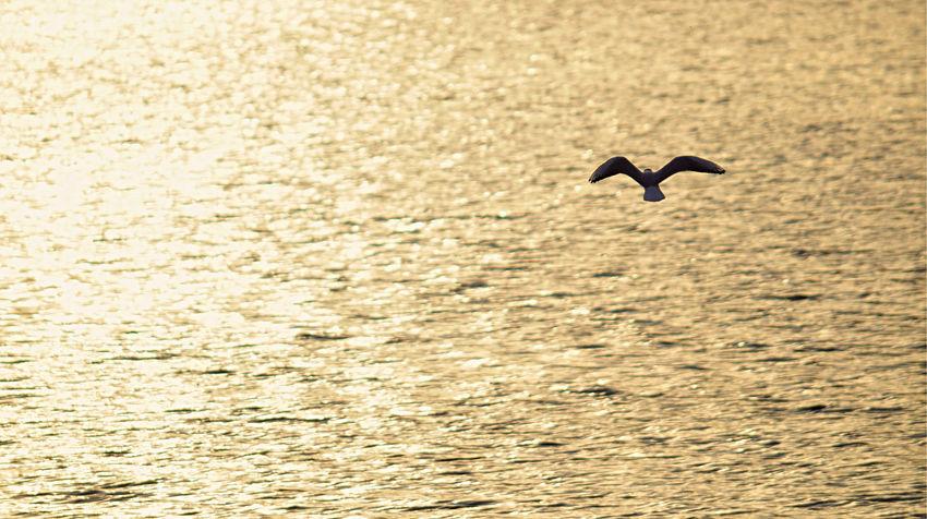 Flying Flying Seagull Lake Lake View Seagull Seaside Soaring Birds Sunrise Sunset Water