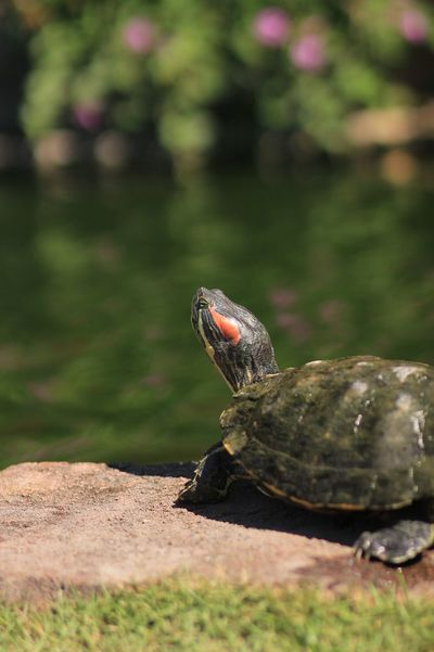 Close Up Turtle Green Turtle Pond Life Garden Sunny EyeEm Selects EyeEm Pond