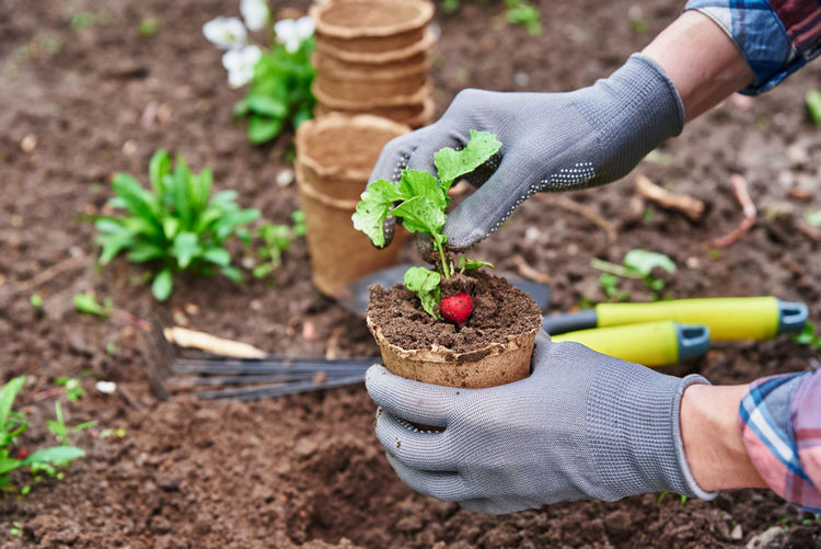 Gardener in gloves planting agricultural plant in pot in backyard garden. spring garden work