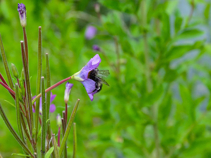 Beer Flowering Plant At The Pond  Beauty In Nature Blue Cranesbill Geraniums Flower Head Insect Violett