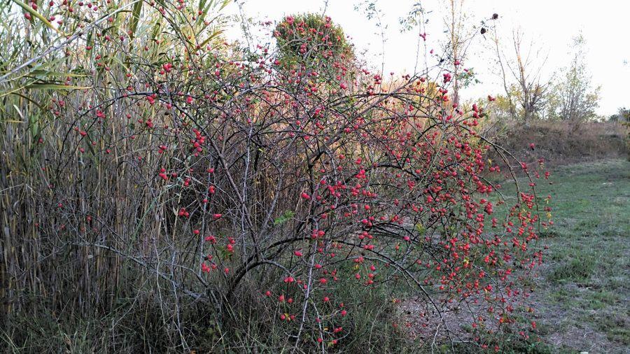 Redfruits Fruttirossi Fruttidautunno Autunno  Autumnfruits Outdoors Landscapes Humidtime Autumn Palline Littleballs Beauty In Nature Nature Tree Autumntree Alberodautunno
