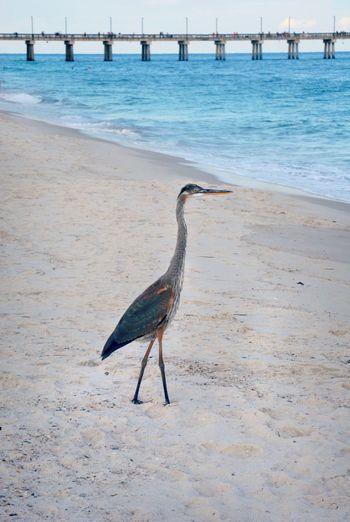 Blue Heron on Beach Animal Wildlife Beach Bird Blue Heron Gulf Shores,AL No People Pier Sand White Sand