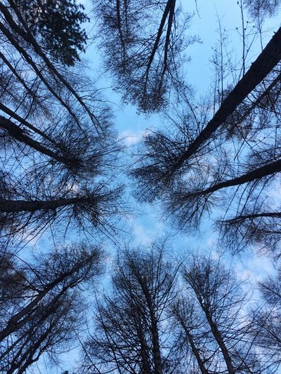 Dusk Forest Trees Silhouette And Sky Looking Up