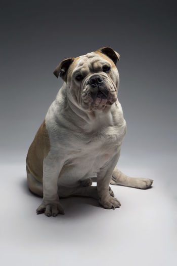 Dog Bulldog