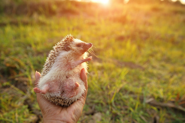 Hedgehog Mouth Open Finger Outdoors Domestic Pets Nature Unrecognizable Person Field Vertebrate Plant Land Personal Perspective Holding Real People Focus On Foreground Mammal One Person Animal Themes Animal Human Body Part One Animal Human Hand Hand