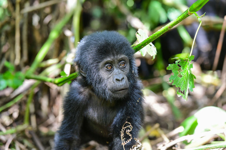 Portrait of gorilla baby