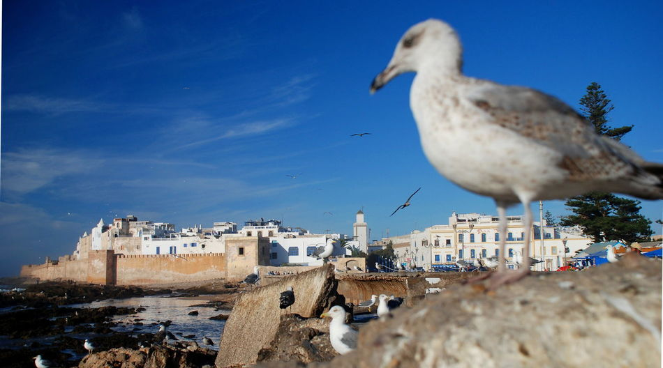 Essaouira, Morocco Africa Atlantic Ocean Essaouira Marrakech Medina Mogador Mogador City Moroccan Morocco Old Seagull Seagulls Seagulls In The City Tourism Morocco Travel Travel Photography