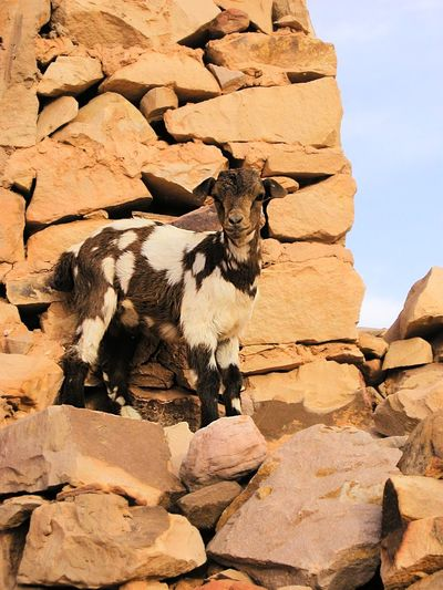 Animal Themes Animals In The Wild Baby Animals Day Deserts Around The World Goat Mammal Nature No People Outdoors Rock - Object Sahara Wall