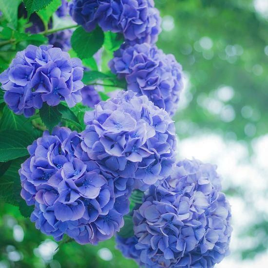Hydrangeas Flower Landscape Flowers Blue 紫陽花 紫陽花-hydrangea- 紫陽花2015Photo 紫陽花2015 紫陽花Photo