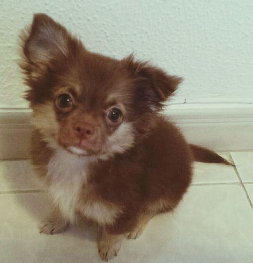 Chihuahua Teddy Puppy