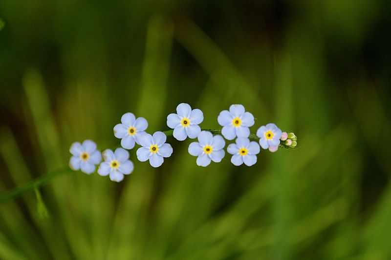 Close-up of forget-me-not blooming outdoors