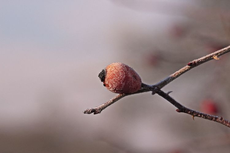 Focus On Foreground Twig Close-up Nature Beauty In Nature Fruit Healthy Eating Winter Rose Hip Branch Nature Photography Naturelovers Bokeh Natural Beauty Beautiful Nature Scenics - Nature EyeEm Nature Lover EyeEm Gallery Eye4photography  Red Growth Plant Food And Drink Tree