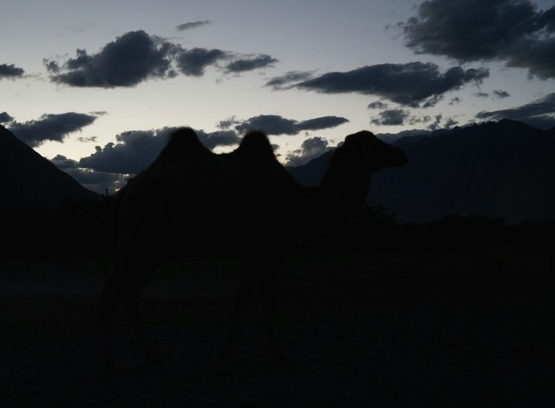 Wild double humped camel Animal Themes Beauty In Nature Camel Camels Day Double Hump Camels Hundar Mountain Nature No People Nubra Valley One Animal Outdoors Sand Dunes Scenics Silhouette Sky Sunset Wild Camels