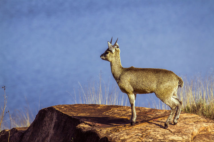 Side view of giraffe standing on rock