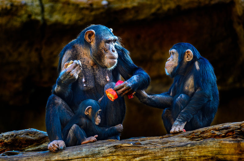 A chimpanzee mother provides her children with fruits and vegetables. Canary Islands Animal Themes Animal Wildlife Animals In The Wild Ape Ape Family Baby Animals Baby Ape Chimpanzee Close-up Day Gorilla Mammal Monkey Nature No People Outdoors Primate Sitting Tenerife Teneriffa