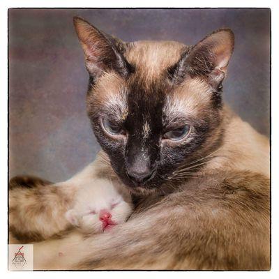 Domestic Cat Pets Domestic Animals Mammal Close-up Siamese Cat Kittycat Kitten 🐱 Kitty Love Kittenoftheday Kittens Of Eyeem Kittylove