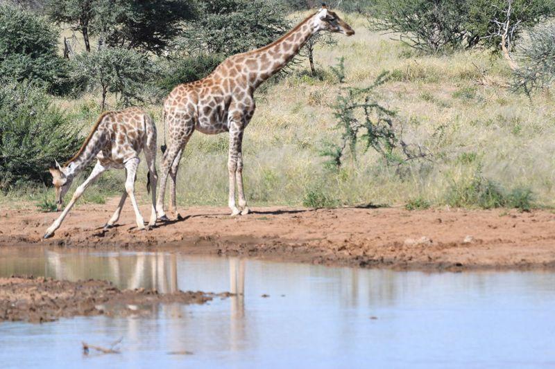 Giraffe Animal Themes Animal Animal Wildlife Mammal Animals In The Wild Giraffe Water One Animal Drinking Outdoors Nature No People Plant Day Tree Safari Drink
