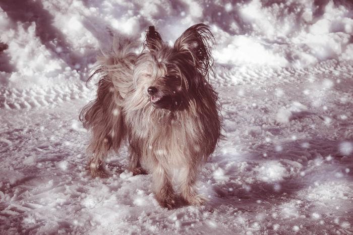 guard dog -Bruno Animal Hair Day Dearfriend Dog Little Fuzzy Pets Spitz York First Eyeem Photo
