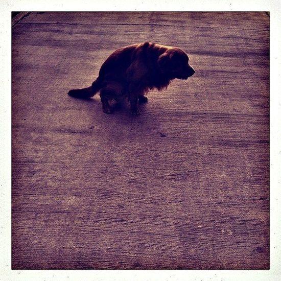My Dog Yoga Golden Retriever Kamin <3