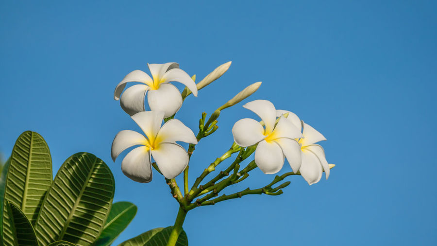 Low angle view of frangipani flowers against clear sky