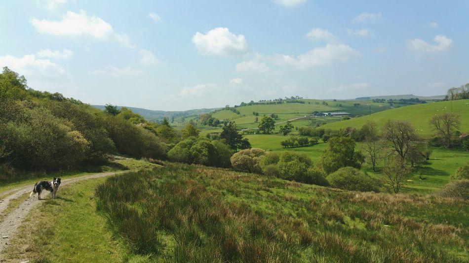 Welsh Landscape with a Sheepdog ... Hills Countryside Road Farmland Rural Scenes Mid Wales Green Enjoying Life Vista Campagne холмы поля собака овчарка Dog