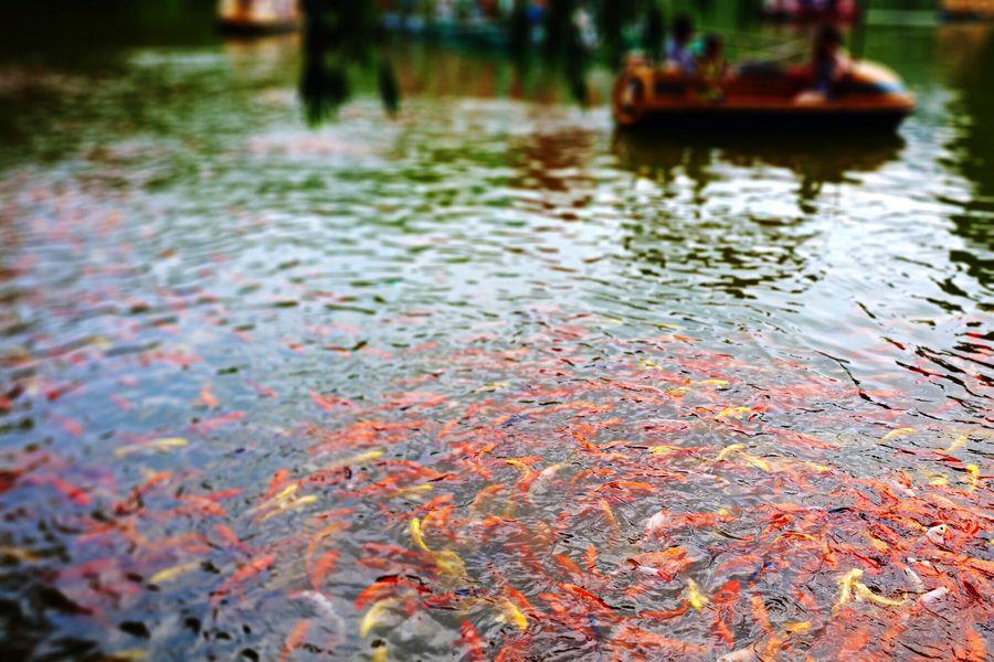 Fancy Carp Lake View Landscape Water Fish Playing