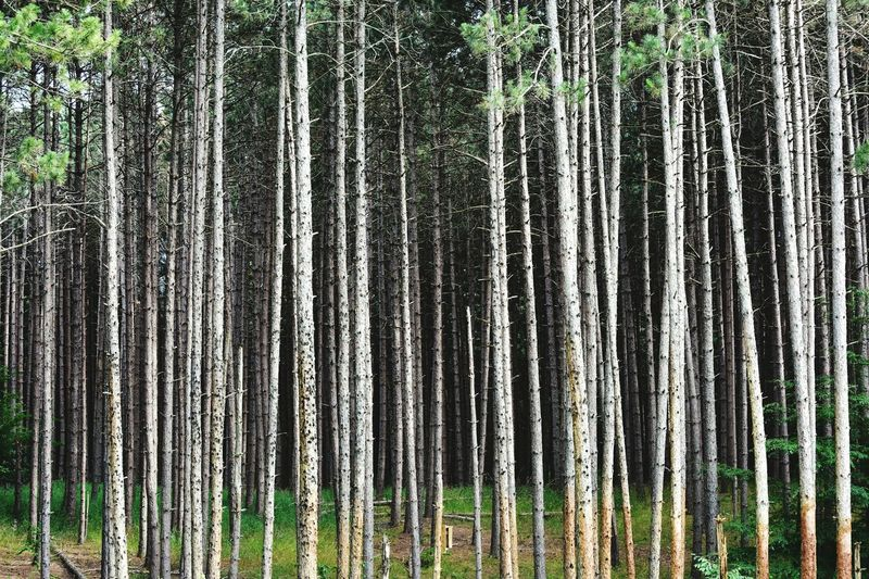 Trees lined in a row Landscape No People Camping Backgrounds Outdoors Bradley Olson Bradleywarren Photography Background Outdoor Tree Trunk Tree Trees Tree Bark Treehugger Woods Forest Wooded Minnesota Minnesota Nature Minnesota State Parks Wooded Area Wooded Landscape Forests Forest Trees Bark