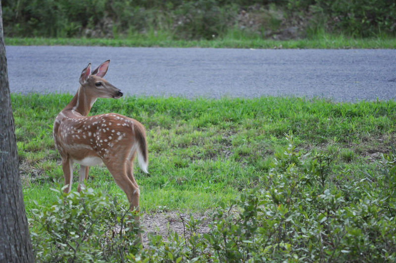 Whitetail Baby Deer Fawn in My Front Yard in the Poconos Pennsylvania Deer Front Yard Looking Over Shoulder Pennsylvania Young Animal Themes Animal Wildlife Animals In The Wild Baby Animal Beauty In Nature Fawn Full Length Hunting Mammal Nature No People One Animal Outdoors Poconos Whitetail
