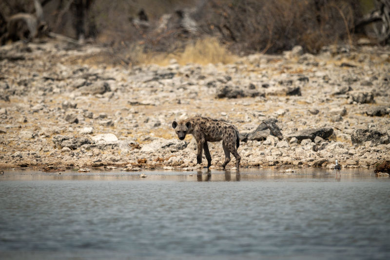 View of animals walking in river
