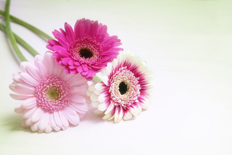 Copy Space Daisy Father's Day Holiday Love Mother's Day Pink Valentine's Day  Birthday Blooming Flower Flower Head Fragility Gerbera Greeting Card  No People Petal Plant Studio Shot Symbol