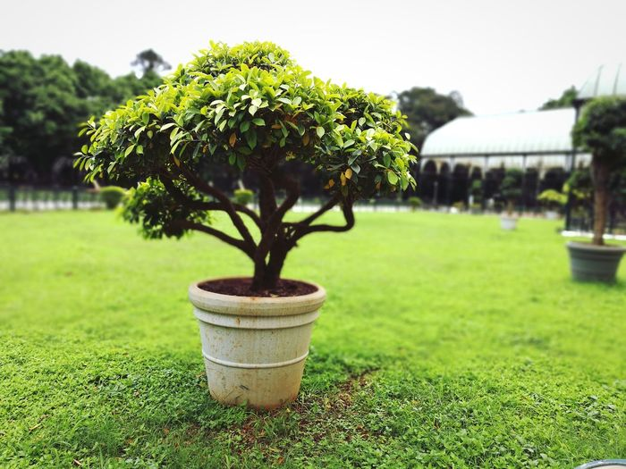 Lalbagh, Bangalore-India Front Or Back Yard Green Color No People Growth Plant Outdoors Nature Close-up Day Tree Discover Berlin EyeEm Gallery Awesomeness The Week On EyeEm Awesome_shots EyeEmNewHere EyeEm Best Shots Plant Grass Potted Plant Pot Bonsai Tree Bonsai