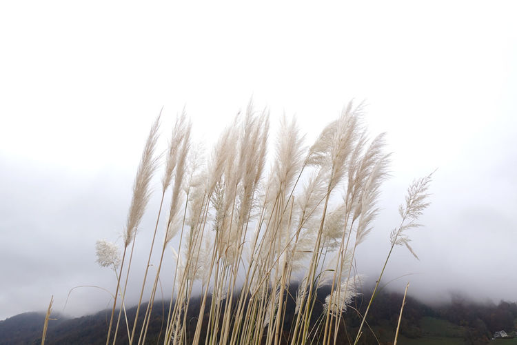 Plant Growth Sky Beauty In Nature Nature Land Field Outdoors Landscape Scenics - Nature Environment Tranquil Scene Cloud Mountain Range Mountain Clouds And Sky Stalk Reed - Grass Family Grass Naturelovers Beauty In Nature Fog Foggy Morning Non-urban Scene