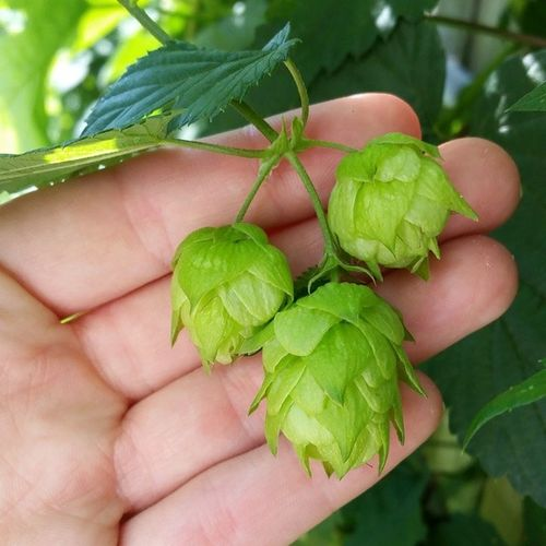 As soon as we get some good IPA , these are goin in 'Em! Hops Hopflower Greenthumb nofilter growyourown centennial homebrew craftbeer beer