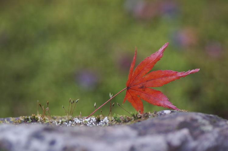 この写真のポイントは、葉っぱ自体ではなく、ピョンピョンと伸びている芽です。(笑) 天龍寺 紅葉2016 紅葉 紅葉🍁 Maple Leaf Nature Beauty In Nature Autumn Nature Photography Nature_collection