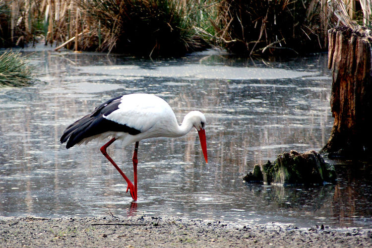 Animal Animal Neck Animal Themes Animal Wildlife Animals In The Wild Beauty In Nature Bird Day Endagered Species Focus On Foreground Lake Large Bird Nature No People One Animal Outdoors Plant Rare Animal Reflection Side View Stork Vertebrate Water Waterfront