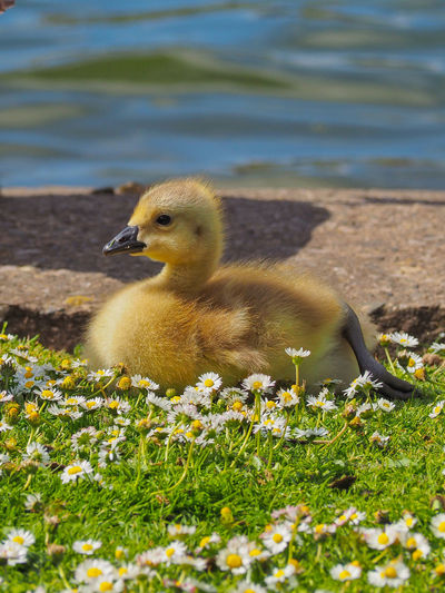 Animal Themes Animal Wildlife Animals In The Wild Bird Day Field Goose Gosling Grass Lake Nature No People One Animal Outdoors Young Bird