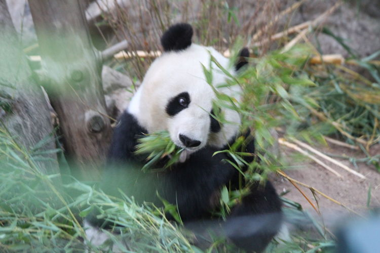 Giant Panda Panda - Animal Confined Space Bamboo - Plant Portrait Endangered Species Looking At Camera Cute Social Issues Bear Panda Zoo Chewing Animals In Captivity Foraging
