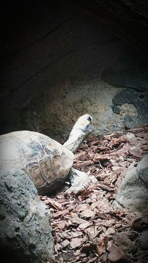 Turtle Zoo Landscape Animals In The Wild One Animal Tortoise Animal Themes No People Reptile Sand Day Nature Outdoors Tortoise Shell Close-up Wood Wood Chunks Rocks Home Stare Back Turned