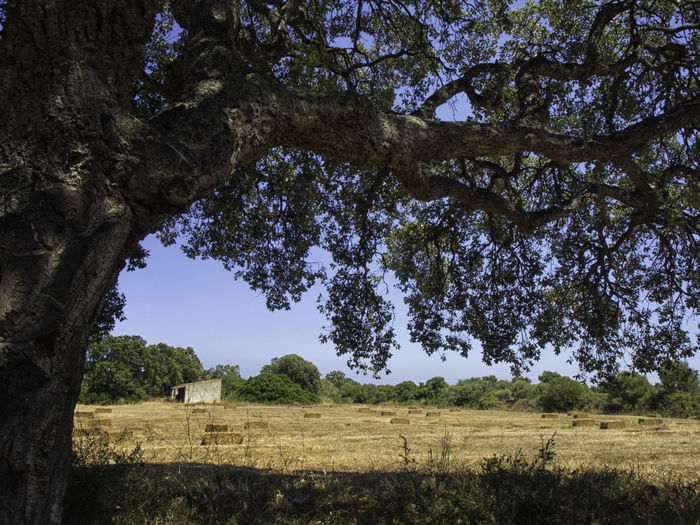Cork oak tree growing on field