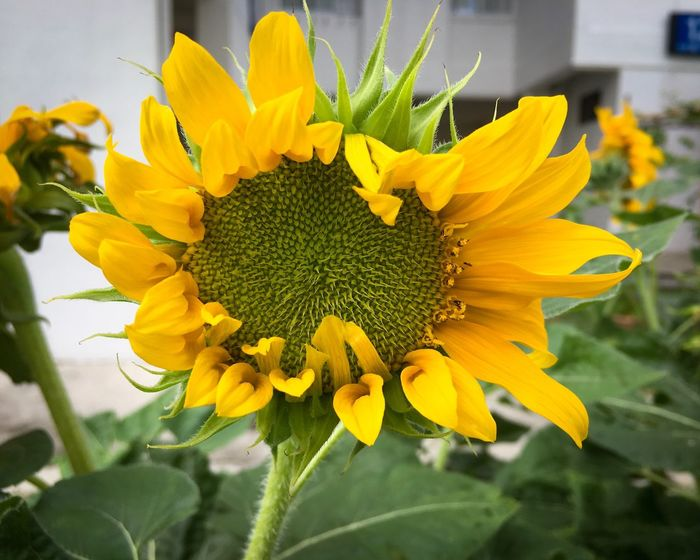 Sunflower sunflower head helianthus annuus helianthus composite flower flower yellow petal fragility flower head Freshness Nature Plant Growth close-up beauty in Nature blooming pollen botany leaf outdoors day blossom springtime november 2017 — Stem Composite Flower November 2017 Springtime Blossom Day Outdoors Leaf Botany Pollen Blooming Beauty In Nature Close-up Growth Plant Nature Freshness Flower Head Fragility Petal Yellow Flower Helianthus Helianthus Annuus Sunflower Head Sunflower
