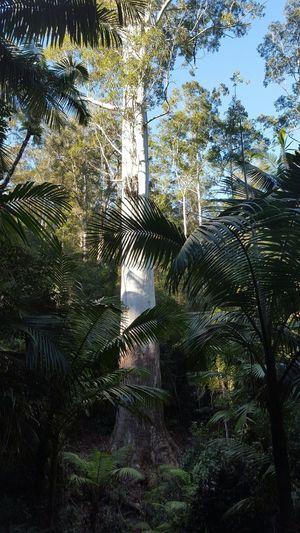 NSW Australia Biggest Tree EyeEm Best Shots - Nature EyeEm Best Shots Nature Wildlife & Nature 400 Years Old