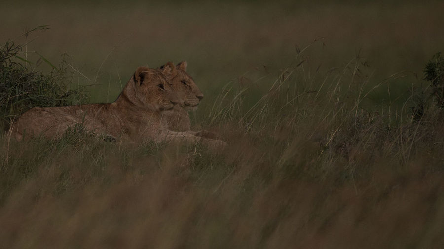 Side View Of Lionesses Resting On Grassy Field