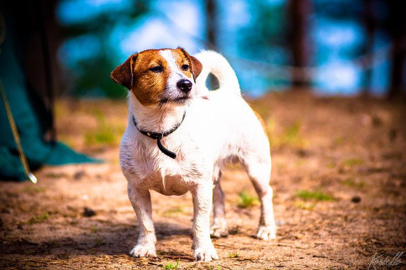 Jack russell terrier on field