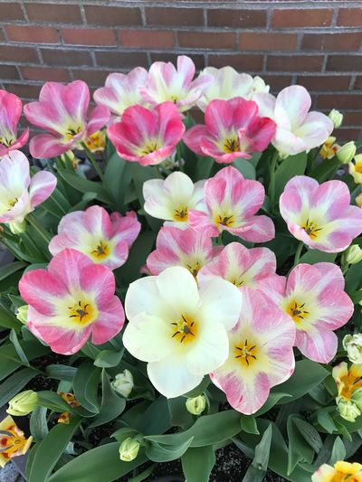 Tulips Tulips In The Springtime Flower Flowering Plant Plant Freshness Beauty In Nature Fragility Vulnerability  Flower Head Petal Outdoors Plant Part Pink Color Growth