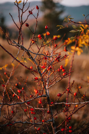 Close-up of red berries on tree during autumn