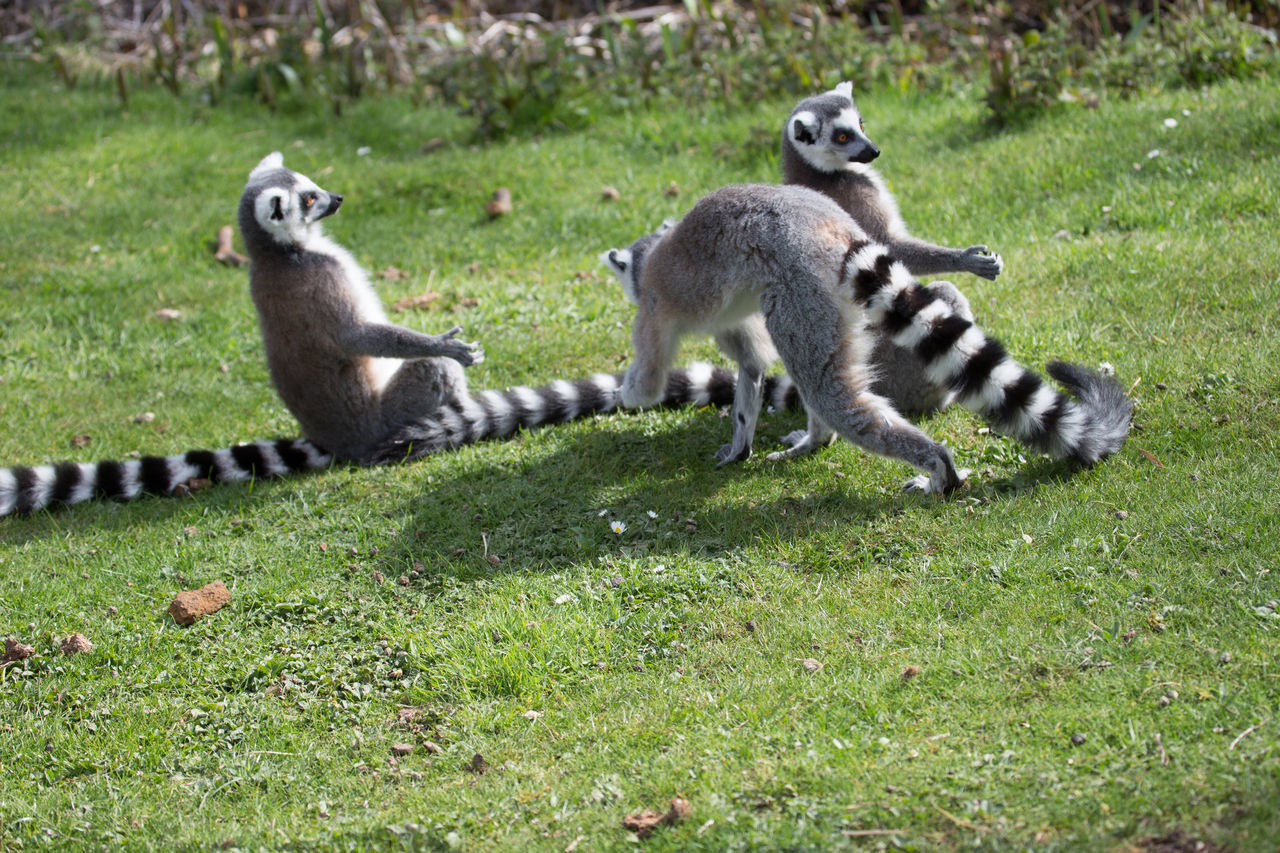 group of animals, grass, mammal, animal wildlife, animals in the wild, plant, nature, two animals, day, full length, lemur, no people, vertebrate, land, young animal, field, animal family