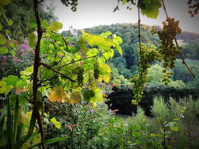Trauben Wein Sommergefühle Tree Leaf Forest Sky Green Color