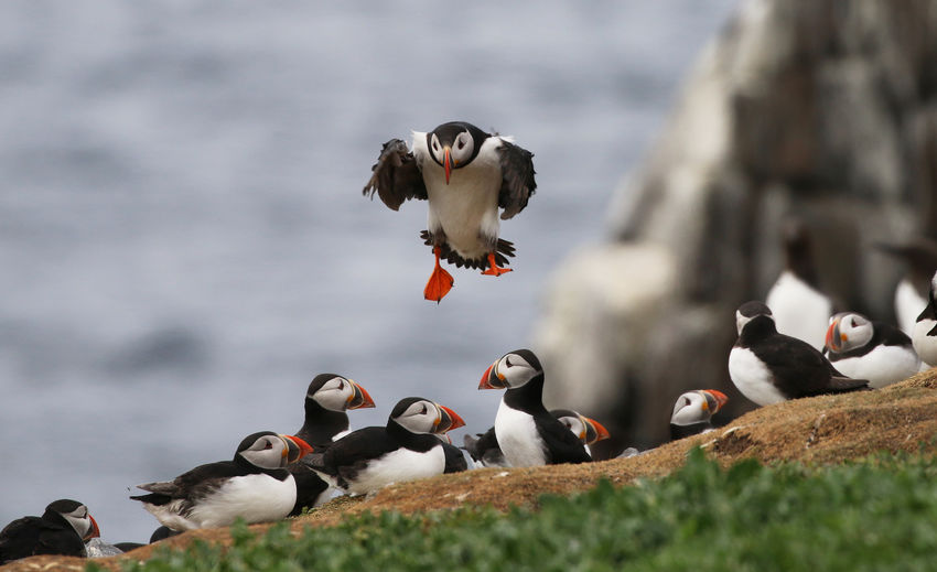 Atlantic Puffin in the Farne Islands Animal Animal Themes Animal Wildlife Animals In The Wild Bird Cloud - Sky Day Flock Of Birds Flying Group Of Animals Large Group Of Animals Mid-air Nature No People Outdoors Selective Focus Sky Spread Wings Vertebrate