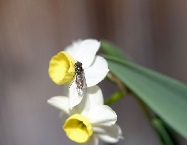 Close-up Fragility Flower Flowering Plant Insect Selective Focus Flower Head Pollen Pollination Petal Analog Lens Daffodils